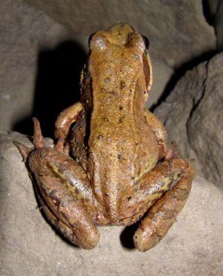 Mieszkańcy jaskini - żaba fot. Heniek