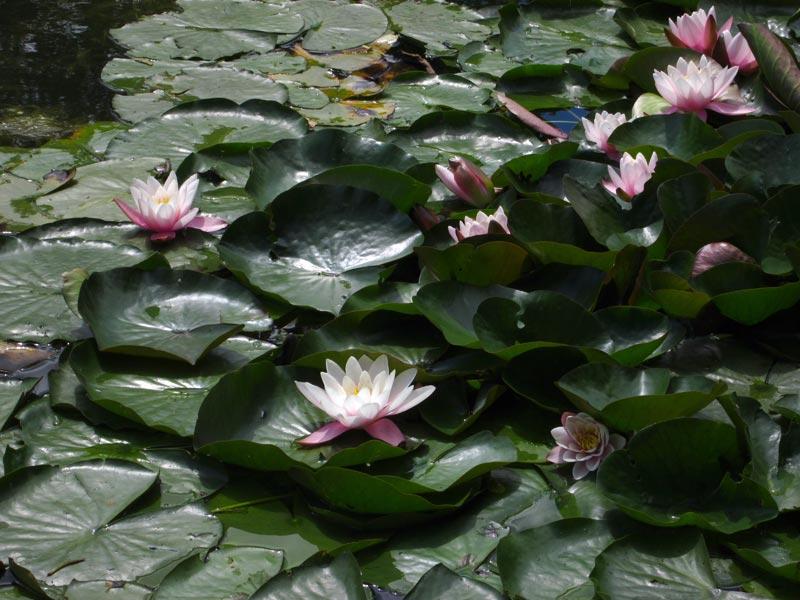 Grzybienie białe (Nymphaea alba L.), zwyczajowo nazywane także nenufarem lub lilią wodną