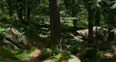 Las na szlaku w stronę Szczelińca Fot. Lowell